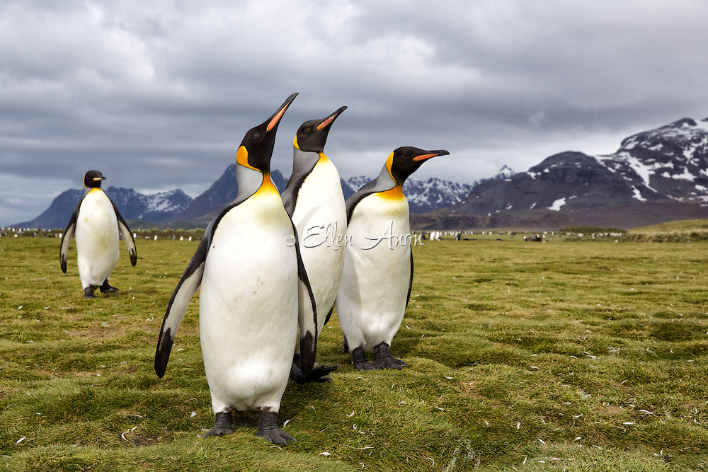 King Penguins, Salisbury Plain, South Georgia