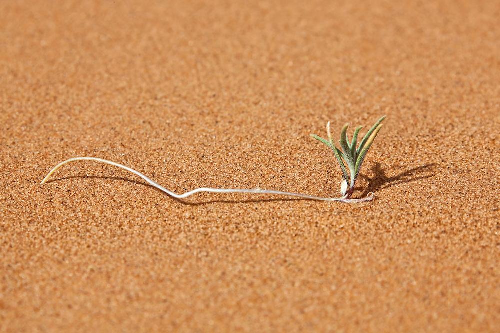 A single tiny green plant in desert sand, Merzouga, Morocco.