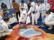 HUIZHOU, CHINA - MARCH 16: <br /> <br /> Baby Sperm Whale Taken Out Of Her Dead Mother After Autopsy In Huizhou<br /> <br /> Experts from Xiamen University, Zhongshan University and Hong Kong Ocean Park find embryos while dissecting a sperm whale, which died after being stranded in the waters of Daya Bay in Huizhou, Guangdong Province of China. The 12-metre-long animal died after three days of rescue attempts failed to lure the mammal into deeper water. The body of the sperm whale was loaded on a flatbed truck and was dissected by experts for research purposes. And a 2-meter-long baby sperm whale was taken out of the body of the female sperm whale. <br /> ©Exclusivepix Media