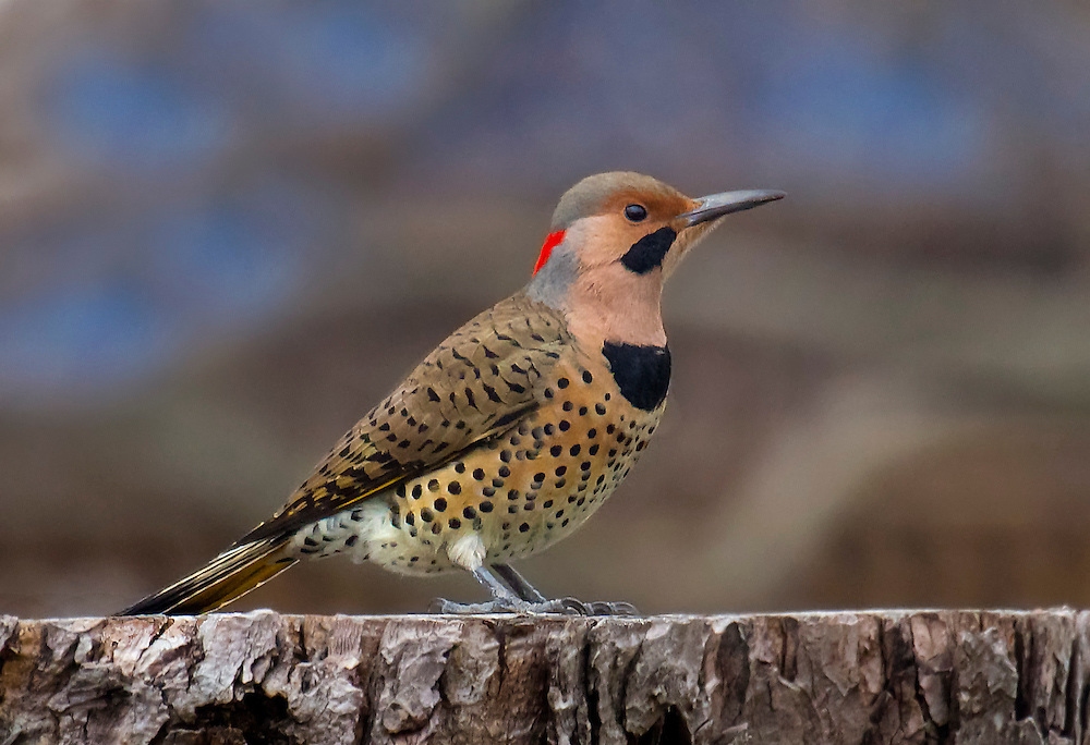 A northern flicker, a species of woodpecker.