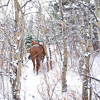 Hunting photograph walking horse through aspen trees in the snow