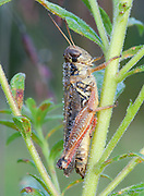 Red-legged Grasshopper; Melanoplus femurrubrum ;female on goldenrod; PA, Philadelphia; Morris Arboretum