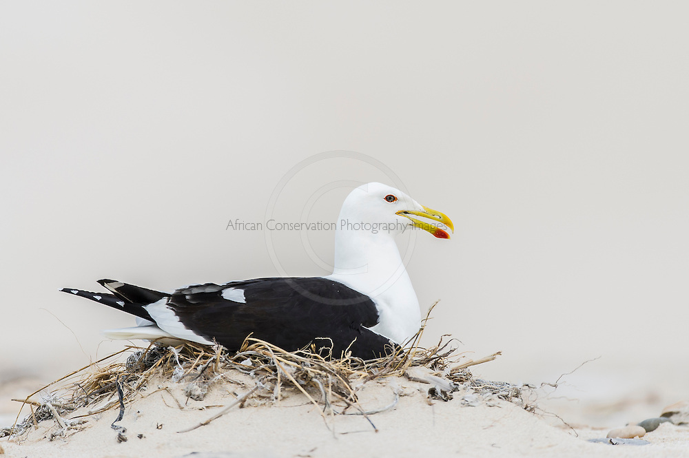 A Kelp Gull incubates its eggs on its nest on a sandy beach, De Hoop Marine Protected Area, Western Cape, South Africa