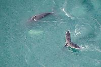 Humpback whales (Megaptera novaeangliae) fluking, Skjalfandi Bay, northern Iceland - aerial
