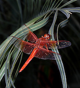 Detailed macro shot of crimson dragonfly resting on leaf