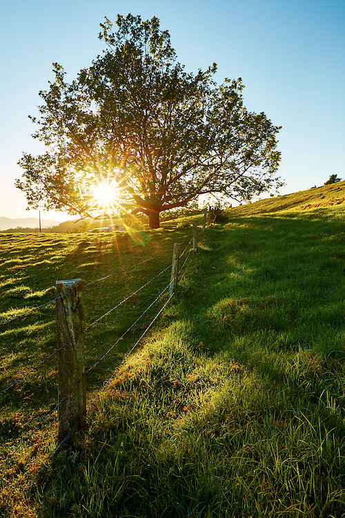 Sunrise bursting through the leaves of a tree on lush green farmland.