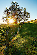 Sunrise bursting through the leaves of a tree on lush green farmland.