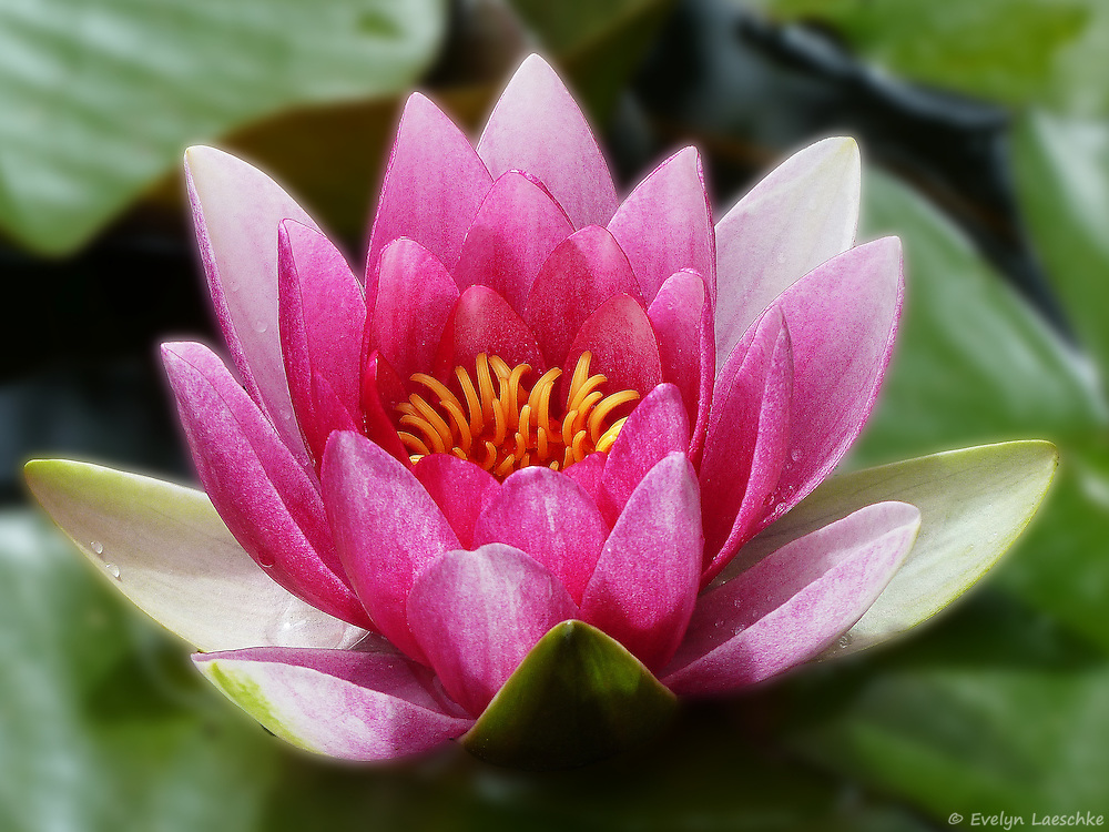 Water lilies are aquatic plants in the Nymphaeaceae family. They are rhizomatous perennial herbs, and their flowers climb out of the water or float on the surface.