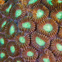 Alberto Carrera, Boulder Coral, Reef Building Coral, Stony Coral, Branching Coral, Lembeh, North Sulawesi, Indonesia, Asia