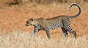 Leopard, Panthera pardus, from Samburu, Kenya.
