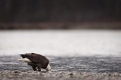 A bald eagle (Haliaeetus leucocephalus) drinks from the Chilkat River after feeding on a salmon fish carcass in the Alaska Chilkat Bald Eagle Preserve along the Chilkat River near Haines, Alaska.