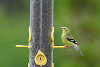 Female American goldfinch (carduelis tristis) on a nyger seed feeder  Cherry Hill, Nova Scotia, Canada,