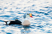King Eider, Somateria spectabilis, male, Barent's Sea, Varanger, Norway