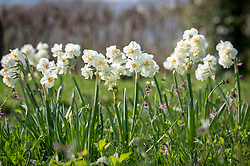 Narcissus 'Cheerfulness' AGM syn. 'White Cheerfulness' growing in grass with Lychnis flos-cuculi (ragged robin)