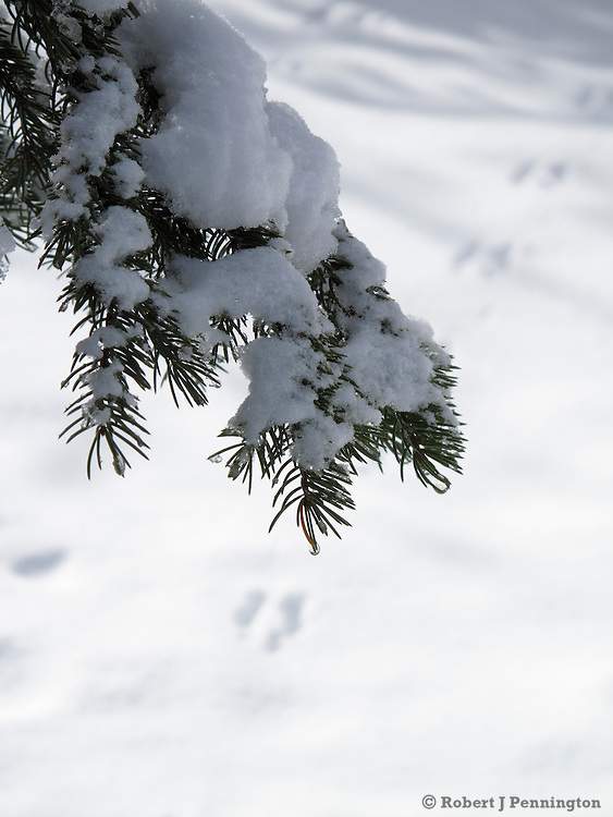Winter Snow on pine branches with Rabbit tracks in the Wasatch Mountains of Utah.