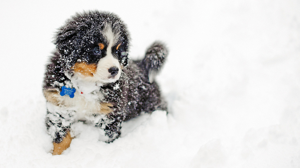Puppy portrait of a Bernese Mountain Dog in the winter.  Image by Maine Wedding Photographer, Puerto Vallarta Wedding Photographer, New York City Wedding Photographer and Philadelphia Wedding Photographer Michelle Turner.