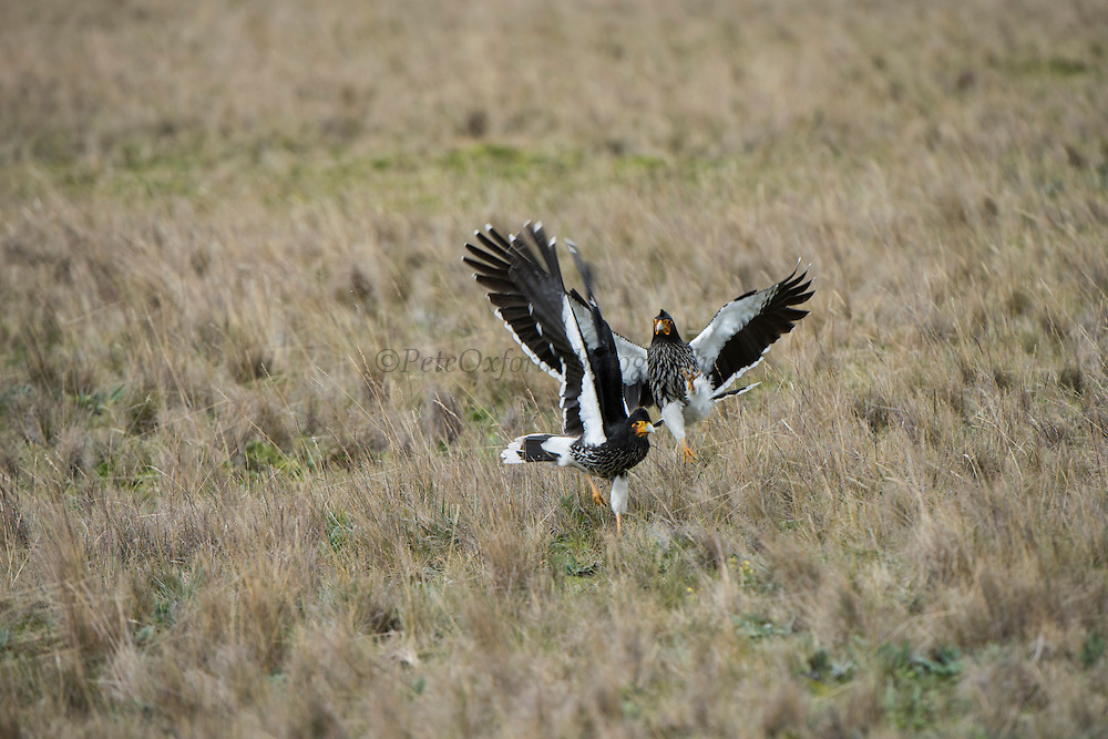 Carunculated caracara (Phalcoboenus carunculatus)<br /> 5,753 meters high or 18,874 ft<br /> Avenue of the Volcanoes<br /> Cordillera Real, Andes<br /> Condor Bioreserve as part of the Antisana Ecological Reserve<br /> ECUADOR, South America<br /> Last erupted between 1801 and 1802