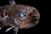[captive] Tropical pelagic cod (Melanonus zugmayeri), Deep Sea fish, Gadiformes : Melanonidae), Atlantic Ocean close to Cape Verde |