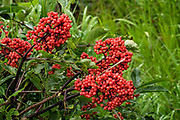 Red Elderberry at the McNeil River State Game Sanctuary on the Kenai Peninsula, Alaska. The remote site is accessed only with a special permit and is the world's largest seasonal population of brown bears in their natural environment.