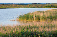 Wetland and marsh habitat with a reedbed of Common Reed (Phragmites australis) at Old Hall Marshes RSPB Reserve, Essex, United Kingdom