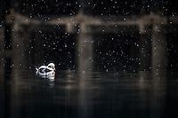 A male Long-tailed Duck is sleeping close to an old wooded dock in Finnmark, northern Norway, as light snow is falling from the sky. These birds gather near fishing vessels and docks used by fishermen, to pick up scraps.