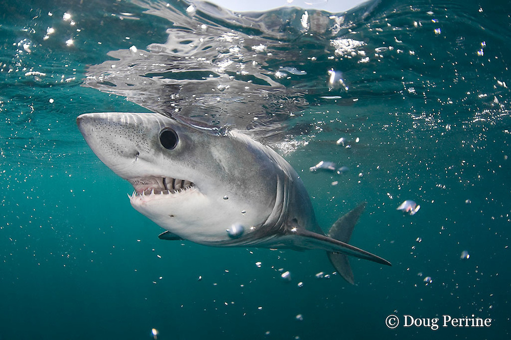 porbeagle shark, Lamna nasus, Nova Scotia, Canada ( North Atlantic Ocean )