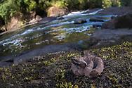 Juvenile fer-de-lance (Bothrops atrox) - Mapari Creek