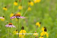 63863-02403 Purple Coneflower (Echinacea purpurea) & Gray-headed Coneflowers (Ratibida pinnata) Ballard Nature Center, Effingham County, Illinois