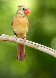 A Female Cardinal Perches High In The Trees Backed By Soft Summer Green