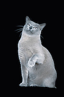 Blue Burmese cat sitting raising paw