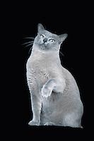 Blue Burmese cat sitting raising paw