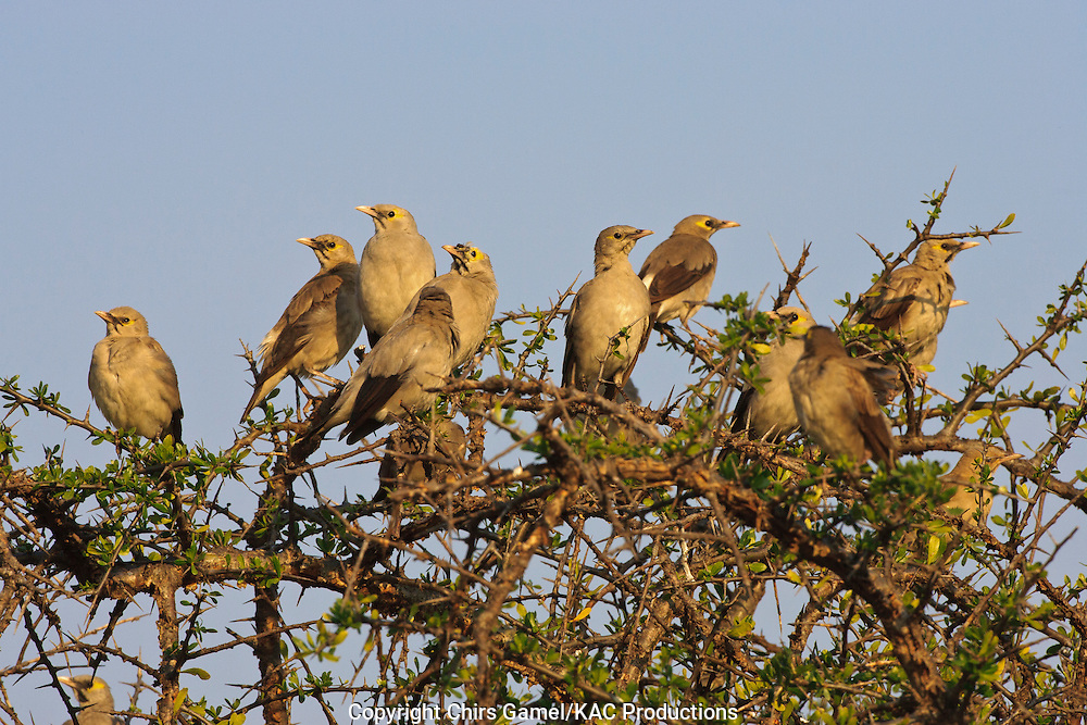 Flock of Wattled Starlings (Creatophora cinerea) perched on top of a tree against a blue sky, Serengeti National Park, Tanzania, Africa; colony nester; social species
