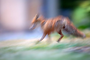 Photographed this urban fox with a panning technique to create movement in the image