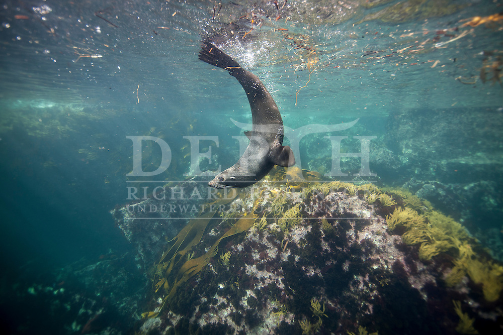 Arctocephalus forsteri (New Zealand Fur Seal) at the subantarctic Antipodes Islands, New Zealand.<br /> Tuesday 11 March 2014<br /> Photograph Richard Robinson &copy; 2014