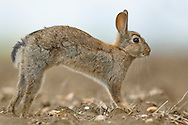 European Rabbit (Oryctolagus cuniculus) young, alert, stretching on rough ground, Norfolk, England, May.