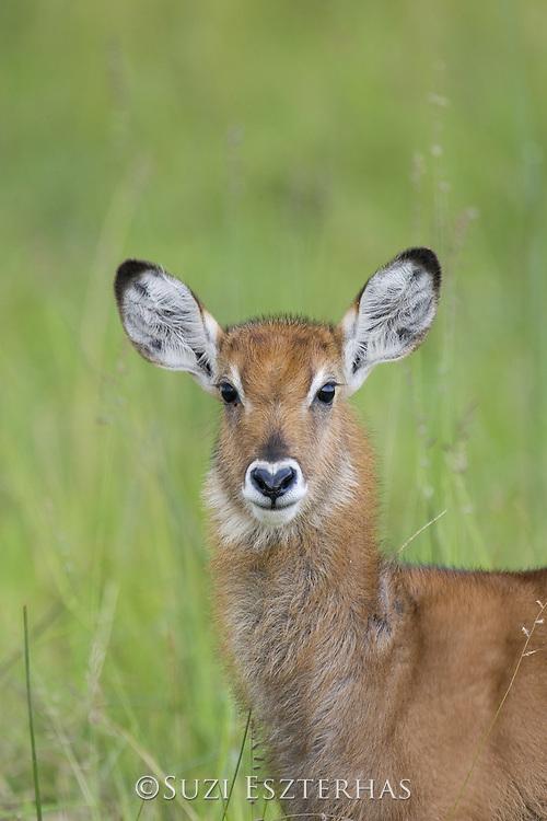 Defassa Waterbuck<br /> Kobus ellipsiprymnus<br /> Calf<br /> Maasai Mara Reserve, Kenya
