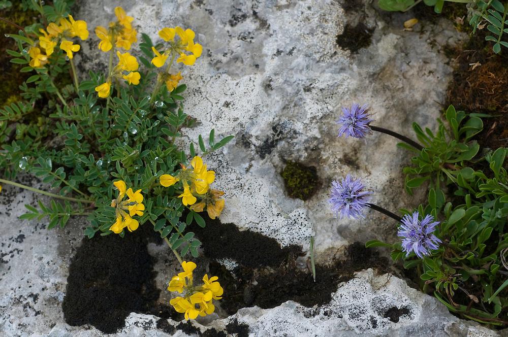 Hippocrepis comosa; Horseshoe Vetch; Globularia cordifolia; Globe Daisy, Augstenberg, Liechtenstein