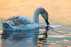© Licensed to London News Pictures. 19/01/2016. London, UK. A swan breaks up the ice on the frozen waters of Heron Pond in Bushy Park. Overnight temperatures have dropped to as low as -4 centigrade. Photo credit: Peter Macdiarmid/LNP