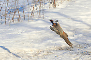 Ringneck rooster flying from a snow-covered ditch.
