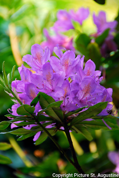 A large purple flower blossom on a bright spring day. (Rhododendron)
