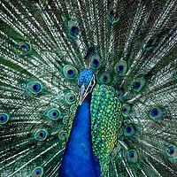Peacock - Pavo cristatus