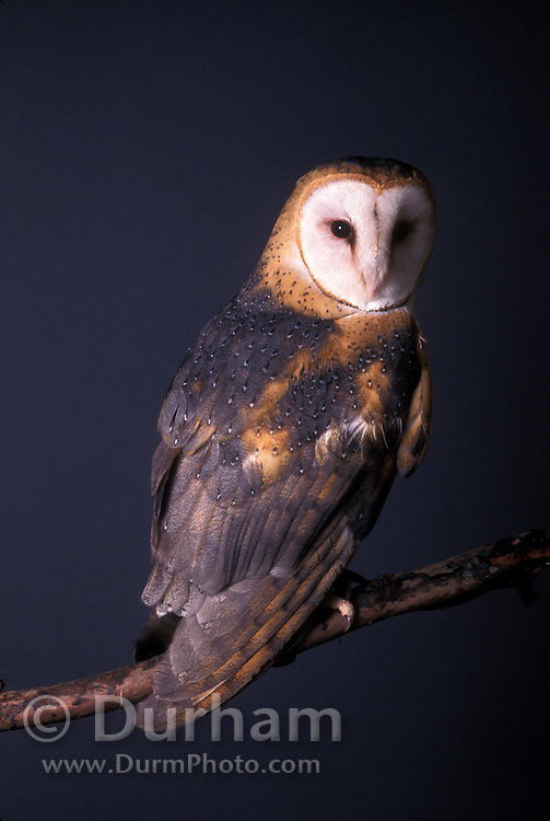 A captive barn owl (Tyto alba) photographed in studio, Portland, Oregon.