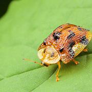 A tortoise shell beetle from the family of Chrysomelidae under genus of Aspidomorpha. Huai Kha Khaeng Wildlife Sanctuary, Thailand.