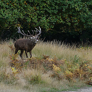 'Autumn red deer in Richmond Park'