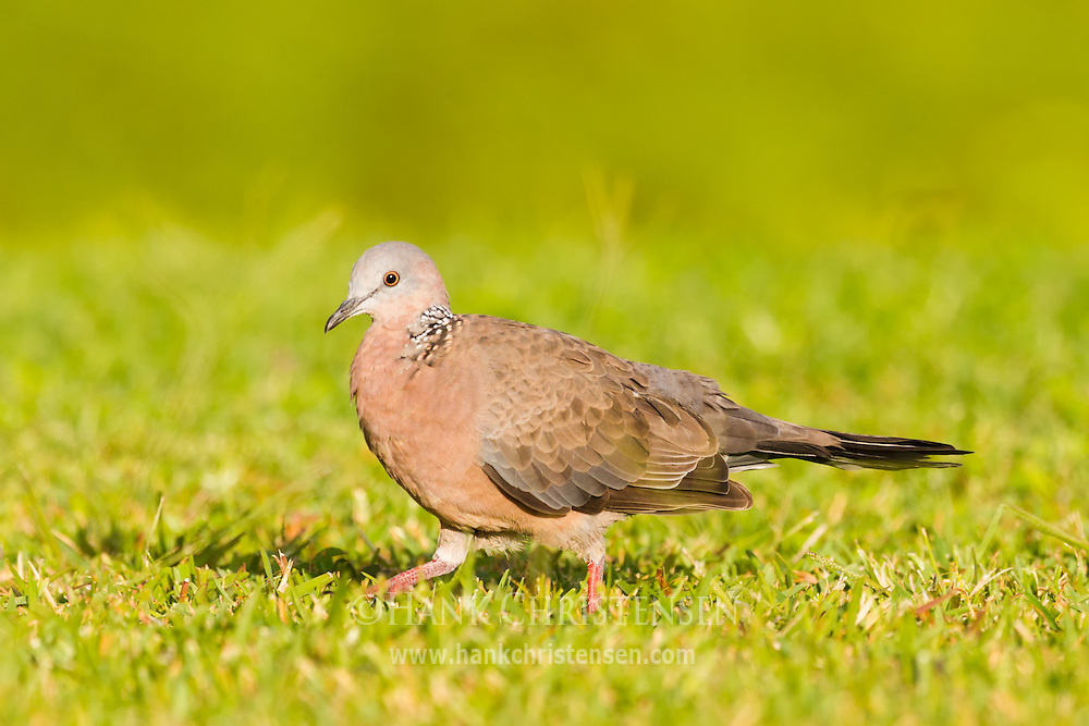 A spotted dove walks through short grass