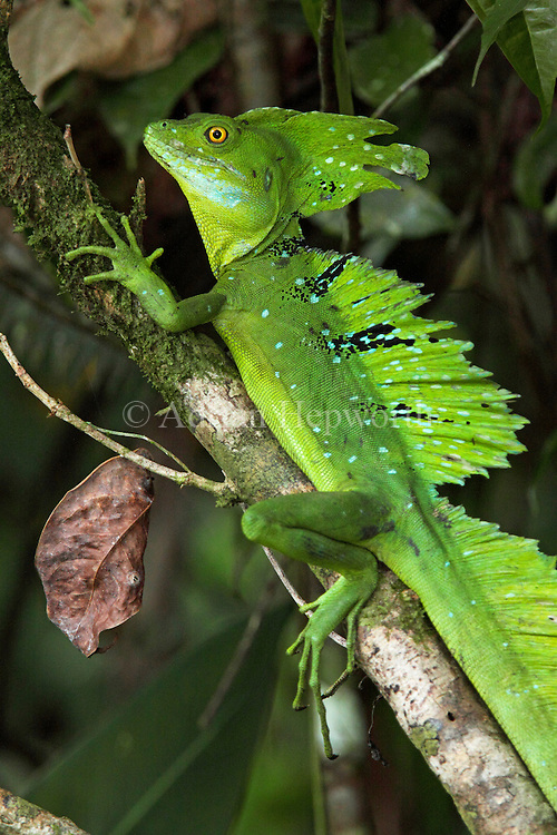 Male Green Basilisk (Basiliscus plumifrons) in rainforest, Tortuguero National Park, Costa Rica. <br />