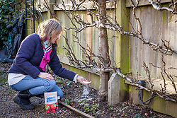 Feeding a trained espalier fruit tree with sulphate of potash