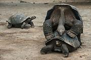 Galapagos Giant Tortoise (Geochelone sp.)<br /> Breeding center<br /> Galapagos National Park,<br /> Puerto Villamil,<br /> Isabela Island, <br /> GALAPAGOS,  <br /> Ecuador, South America<br /> endemic
