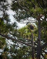 Bald Eagle near its nest in the Merritt Island National Wildlife Refuge. Image taken with a Nikon D3x camera and 300 mm f/2.8 VR lens and TC-E II 20 teleconverter (ISO 400, 600 mm, f/8, 1/800 sec).