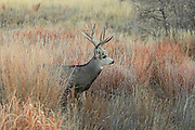 Trophy mule deer buck in grassland habitat.